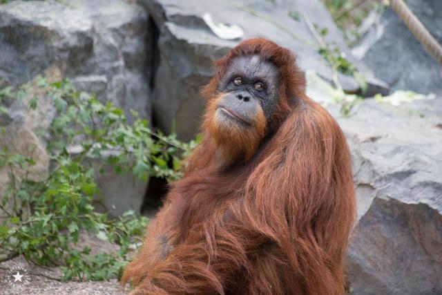 Gorilla im Hamburger Zoo