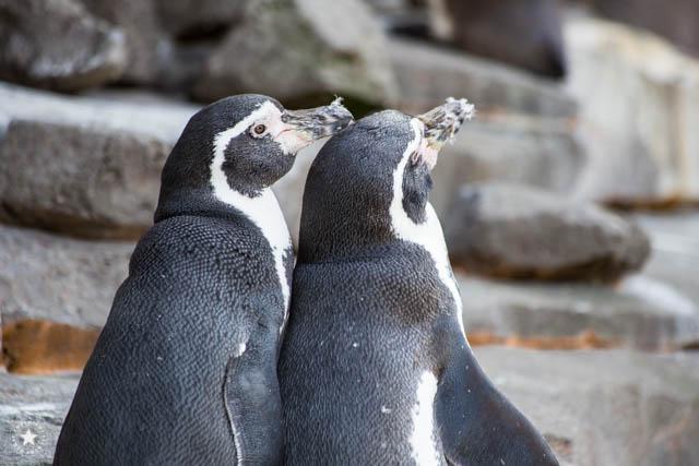 Pinguine bei Hagenbecks Tierpark